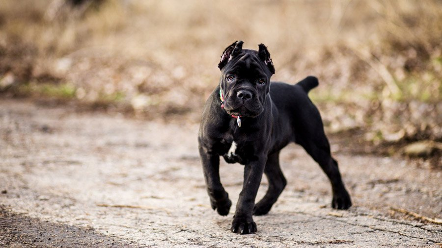ТОП-5 самых опасных пород собак