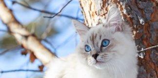 ТОП-5 пород котов с самым крепким здоровьем - today.ua