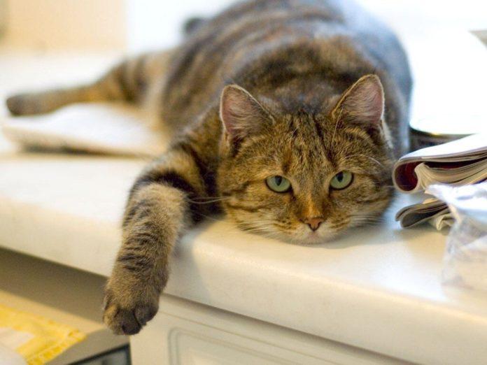 Почему домашние коты могут быть опасны для человека: названа причина - today.ua