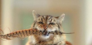 """ТОП-5 порід котів, які живуть найдовше"""" - today.ua"""
