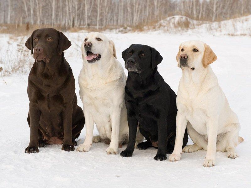 ТОП-10 найрозумніших собак