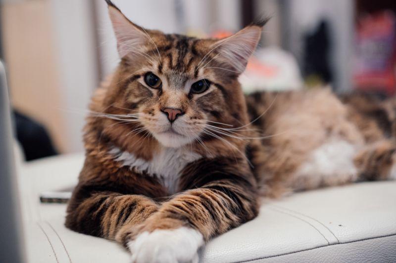 ТОП-5 пород котов с самым крепким здоровьем