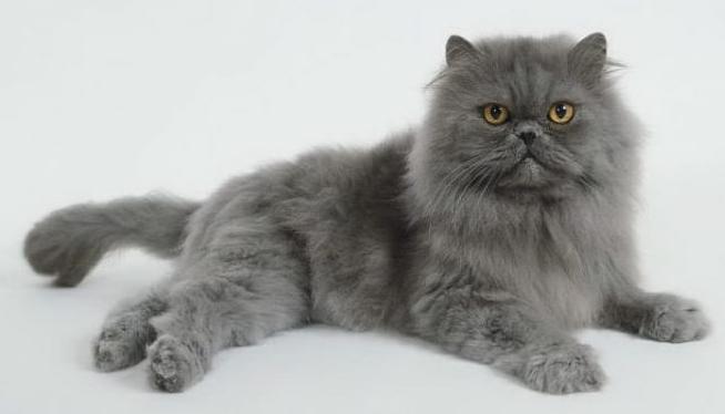 ТОП-5 пород котов, которые живут дольше всего