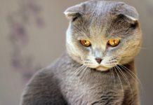 ТОП-3 пород котов-долгожителей (фото) - today.ua