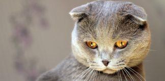ТОП-3 порід котів-довгожителів (фото) - today.ua