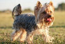 ТОП-3 найпопулярніших порід домашніх собак 2019 року - today.ua