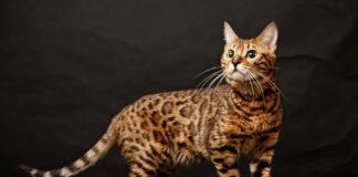 ТОП-3 найрідкісніших окрасів кішок - today.ua