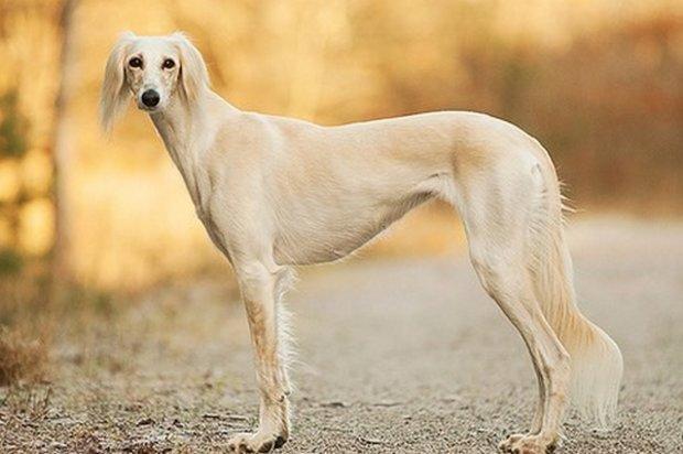 ТОП-3 найдорожчих порід собак