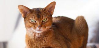 ТОП-5 найбільш небезпечних порід котів - today.ua