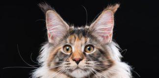 ТОП-5 самых крупных пород кошек - today.ua