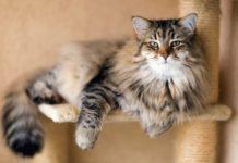 ТОП-3 найбільш лагідних кішок у світі - today.ua