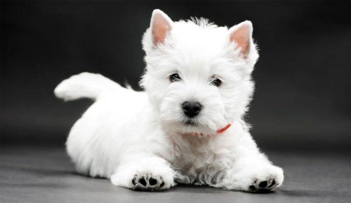 ТОП-5 порід собак, які не можуть перебувати без уваги - today.ua