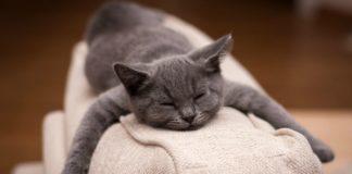 """Езотерик розповів про особливості сірої породи котів"""" - today.ua"""