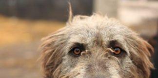 ТОП-5 порід собак, які живуть менше 10 років - today.ua