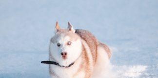 """ТОП-5 порід собак, що обожнюють сніг"""" - today.ua"""