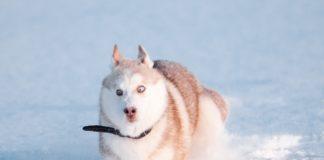 ТОП-5 пород собак, которые любят снег - today.ua