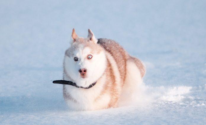 ТОП-5 порід собак, що обожнюють сніг - today.ua