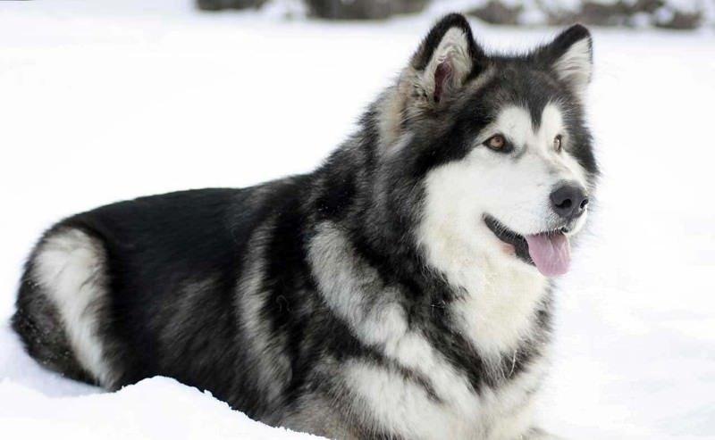 ТОП-5 порід собак, що обожнюють сніг