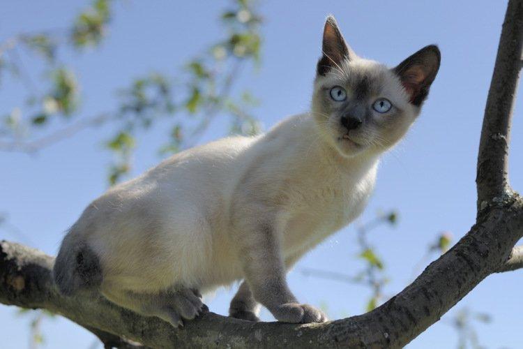 ТОП-3 породи котів, які поводяться агресивніше собак