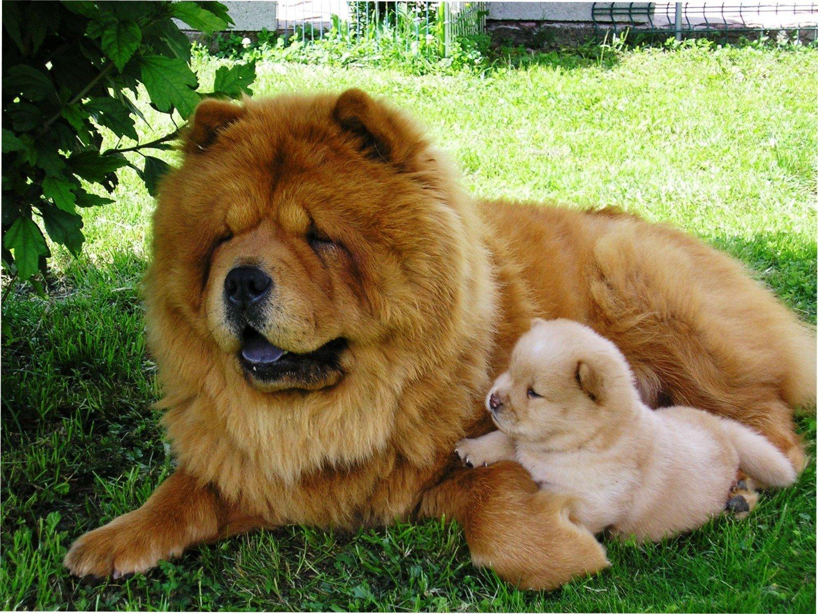 ТОП-5 найдорожчих порід собак у світі