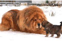 ТОП-5 найдорожчих порід собак у світі - today.ua