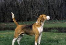 """Не только друг, но и""""талисман"""": эзотерик назвал породы собак, которые улучшат вашу жизнь - today.ua"""