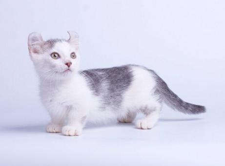 ТОП-5 унікальних коротколапих порід кішок