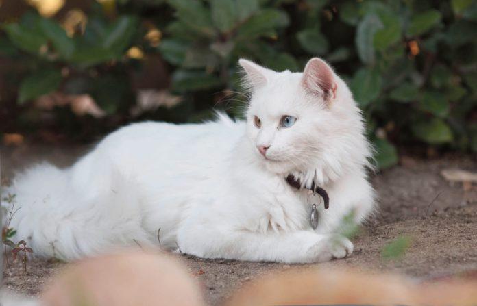 ТОП-3 найбільш галасливих порід котів - today.ua