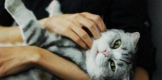 ТОП-3 порід кішок, які лікують від хвороб - today.ua
