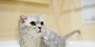 ТОП-3 порід кішок, які люблять купатися у воді - today.ua