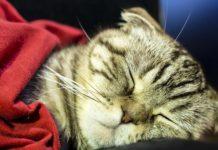 ТОП-5 найбільш пасивних порід котів - today.ua
