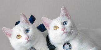 Езотерики розповіли про особливості породи білих котів - today.ua