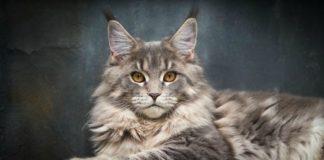 ТОП-3 породы котов, которых лучше не брать с собой в путешествия - today.ua