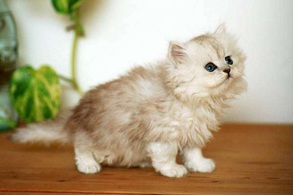 Породи котів для кожного знака Зодіаку: яку тварину обрати