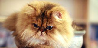 ТОП-5 найбільш ледачих порід котів - today.ua
