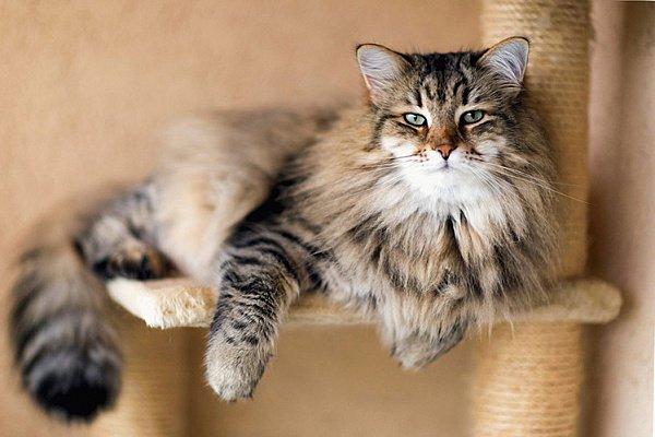 ТОП-5 пород кошек, которые не созданы для путешествий
