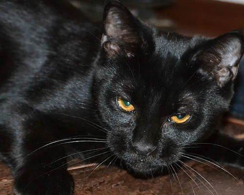 ТОП 5 пород кошек, которые недавно появились