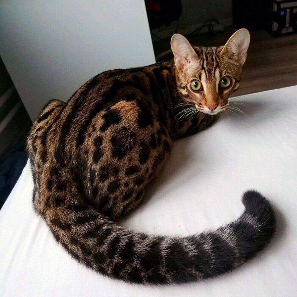 ТОП-5 порід котів, які з'явились в останні роки