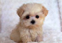 ТОП-5 незвичайних порід собак, які з'явилися нещодавно - today.ua