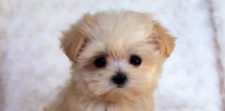 ТОП-5 необычных пород собак, которые появились совсем недавно - today.ua