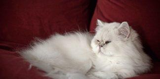 Топ-3 породи найбільш примхливих котів - today.ua