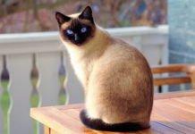 ТОП-3 породи котів, які вміють дружити з собаками - today.ua