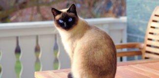 """ТОП-3 породи котів, які вміють дружити з собаками"""" - today.ua"""