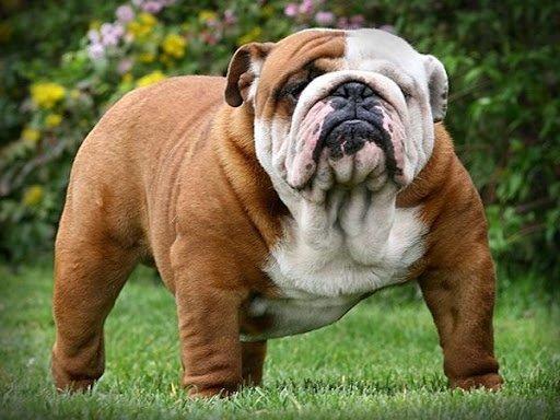 """ТОП-3 порід собак із """"залежністю"""" від людей"""