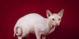 ТОП-3 найбільш незвичайних породи котів - today.ua