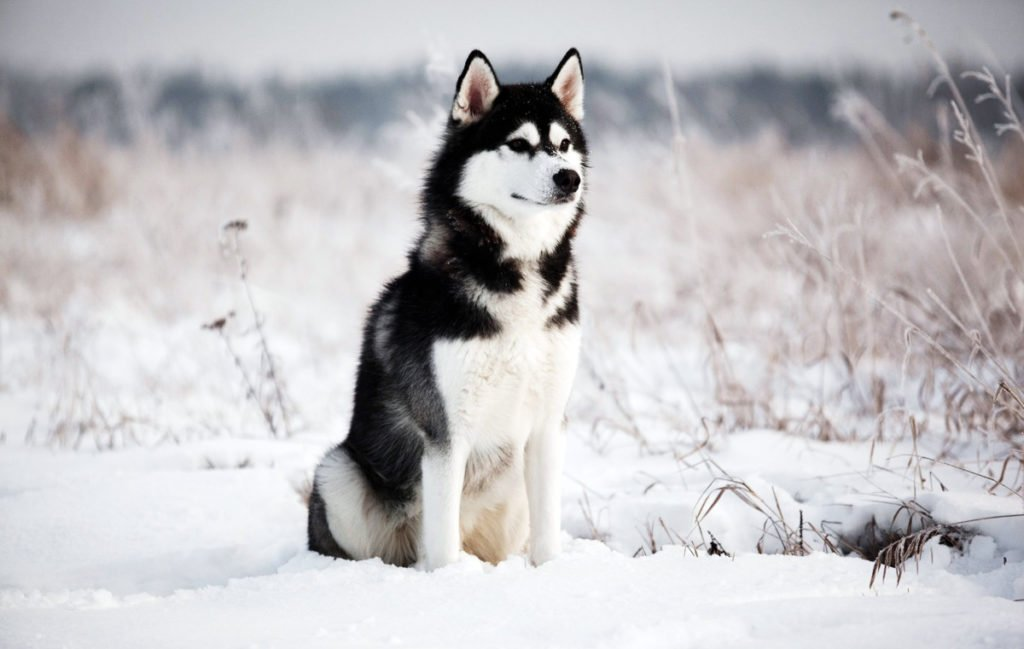 Погана спадковість: ТОП-3 найбільш хворобливих порід собак