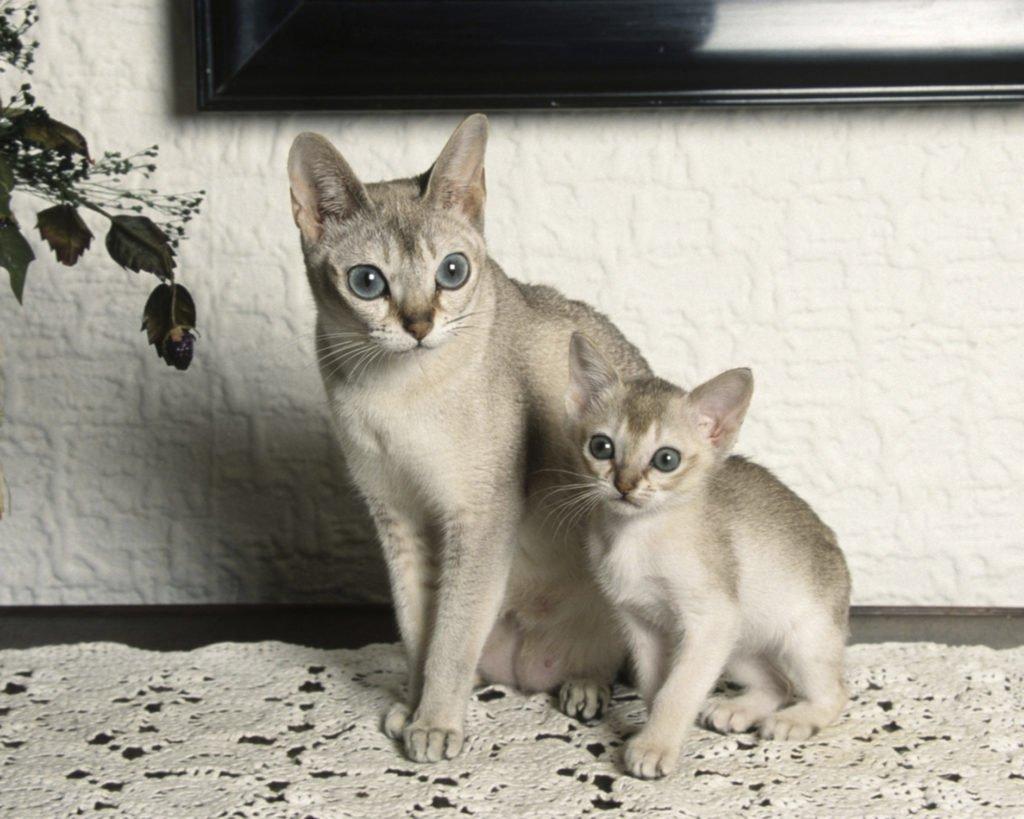 Мовчазні і невибагливі: ТОП-3 унікальні породи кішок