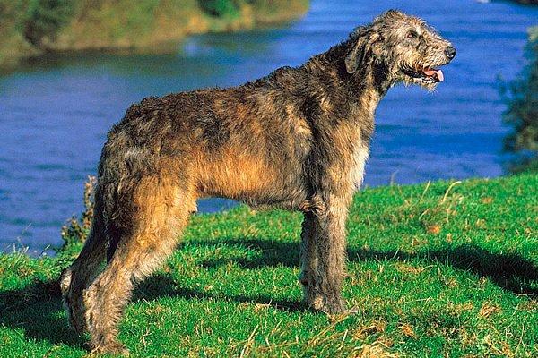 ТОП-3 породы собак, которые живут меньше 9 лет