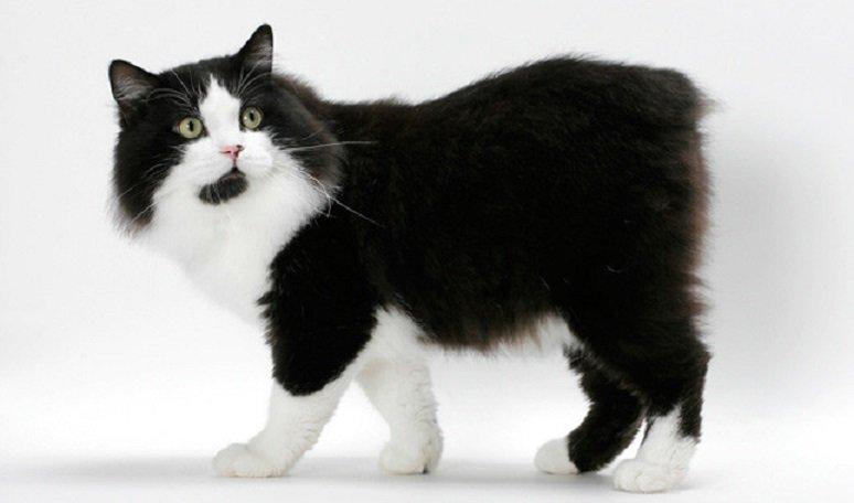 ТОП-3 породи котів без хвостів