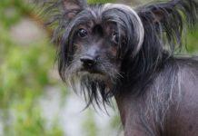ТОП-5 пород собак, которые не линяют и не пахнут - today.ua